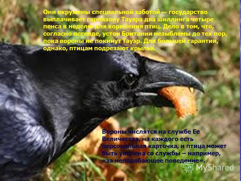 Они окружены специальной заботой государство выплачивает гарнизону Тауэра два шиллинга четыре пенса в неделю для кормления птиц. Дело в том, что, согласно легенде, устои Британии незыблемы до тех пор, пока вороны не покинут Тауэр. Для большей гаранти