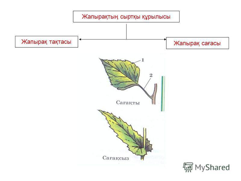 Жапырақтың сыртқы құрылысы Жапырақ тақтасы Жапырақ сағасы