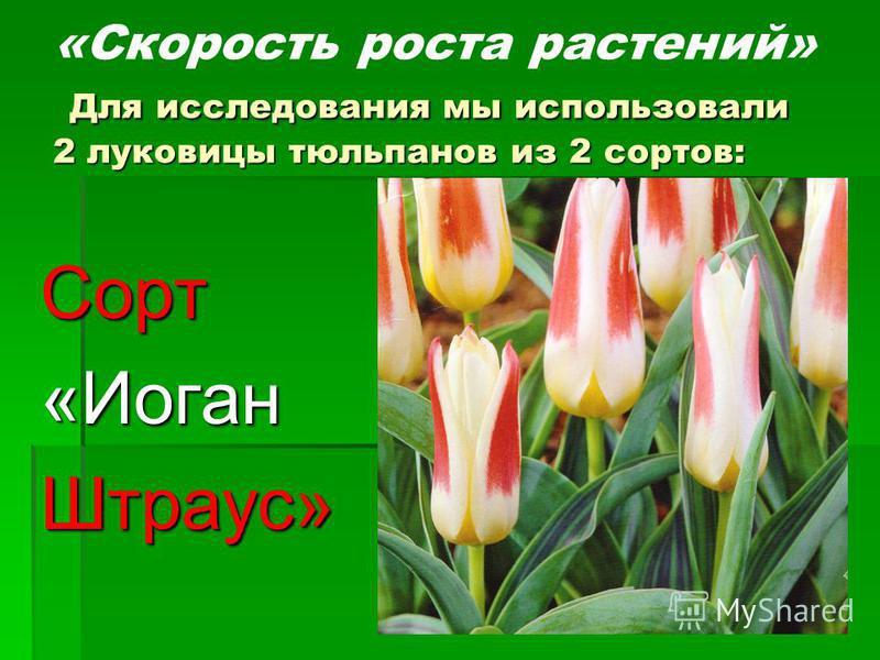 Для исследования мы использовали 2 луковицы тюльпанов из 2 сортов: «Скорость роста растений» Для исследования мы использовали 2 луковицы тюльпанов из 2 сортов: Сорт«Иоган Штраус»