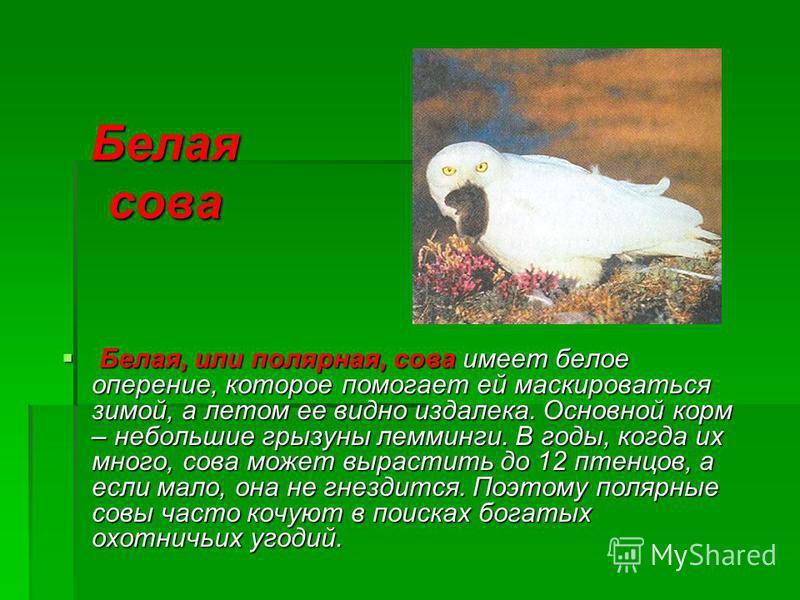Белая сова Белая, или полярная, сова имеет белое оперение, которое помогает ей маскироваться зимой, а летом ее видно издалека. Основной корм – небольшие грызуны лемминги. В годы, когда их много, сова может вырастить до 12 птенцов, а если мало, она не