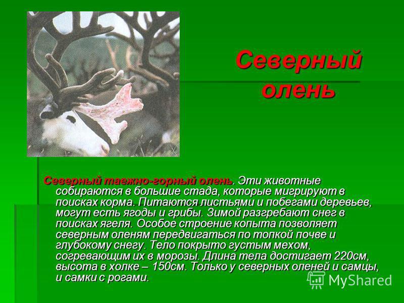 Северный олень Северный таежно-горный олень. Эти животные собираются в большие стада, которые мигрируют в поисках корма. Питаются листьями и побегами деревьев, могут есть ягоды и грибы. Зимой разгребают снег в поисках ягеля. Особое строение копыта по