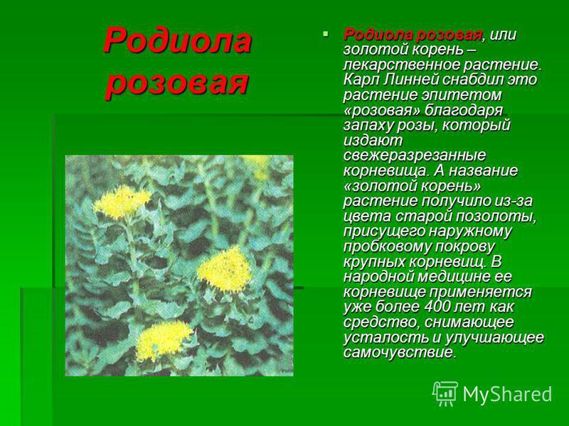 Родиола розовая Родиола розовая, или золотой корень – лекарственное растение. Карл Линней снабдил это растение эпитетом «розовая» благодаря запаху розы, который издают свежеразрезанные корневища. А название «золотой корень» растение получило из-за цв