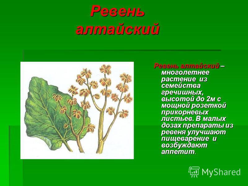 Ревень алтайский Ревень алтайский – многолетнее растение из семейства гречишных, высотой до 2 м с мощной розеткой прикорневых листьев. В малых дозах препараты из ревеня улучшают пищеварение и возбуждают аппетит. Ревень алтайский – многолетнее растени