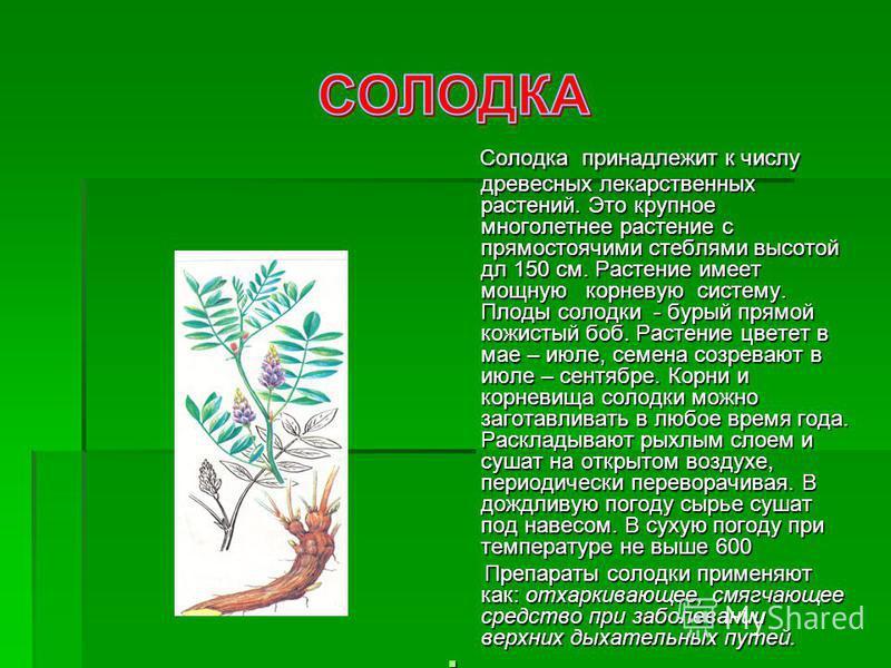 Солодка принадлежит к числу древесных лекарственных растений. Это крупное многолетнее растение с прямостоячими стеблями высотой дл 150 см. Растение имеет мощную корневую систему. Плоды солодки - бурый прямой кожистый боб. Растение цветет в мае – июле
