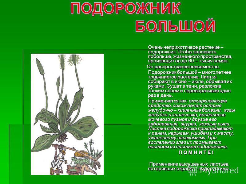 Очень неприхотливое растение – подорожник. Чтобы завоевать побольше, жизненного пространства, производит он до 60 – тысяч семян. Очень неприхотливое растение – подорожник. Чтобы завоевать побольше, жизненного пространства, производит он до 60 – тысяч