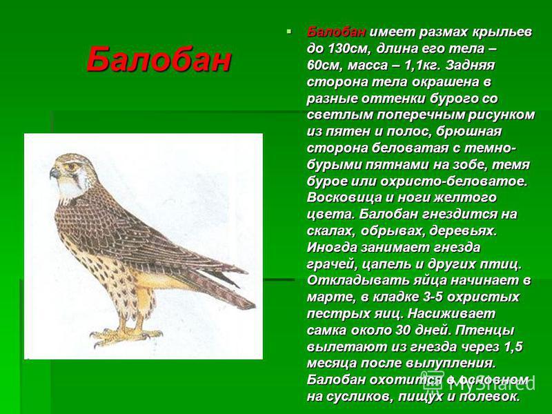 Балобан Балобан имеет размах крыльев до 130 см, длина его тела – 60 см, масса – 1,1 кг. Задняя сторона тела окрашена в разные оттенки бурого со светлым поперечным рисунком из пятен и полос, брюшная сторона беловатая с темно- бурыми пятнами на зобе, т