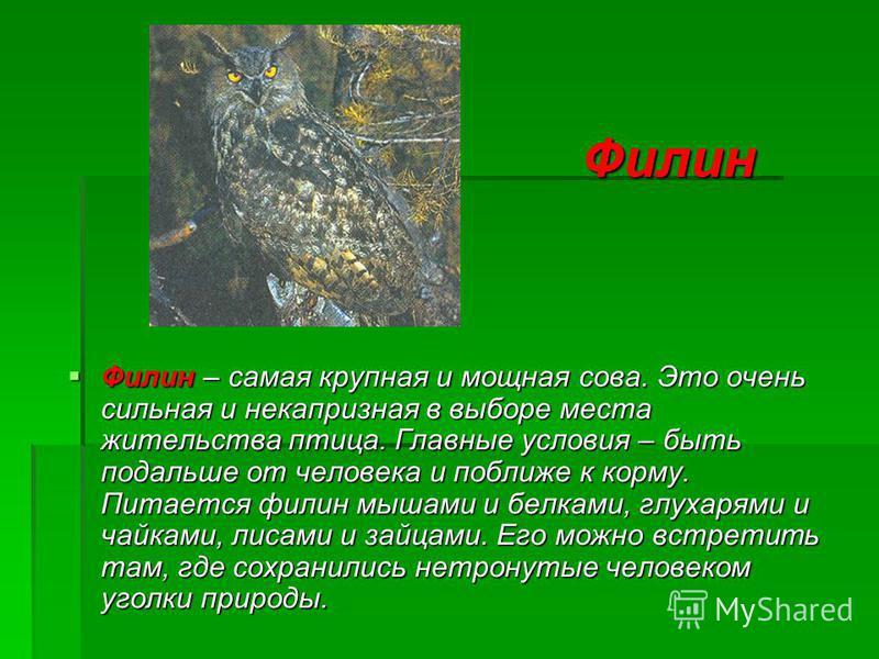 Филин Филин – самая крупная и мощная сова. Это очень сильная и некапризная в выборе места жительства птица. Главные условия – быть подальше от человека и поближе к корму. Питается филин мышами и белками, глухарями и чайками, лисами и зайцами. Его мож