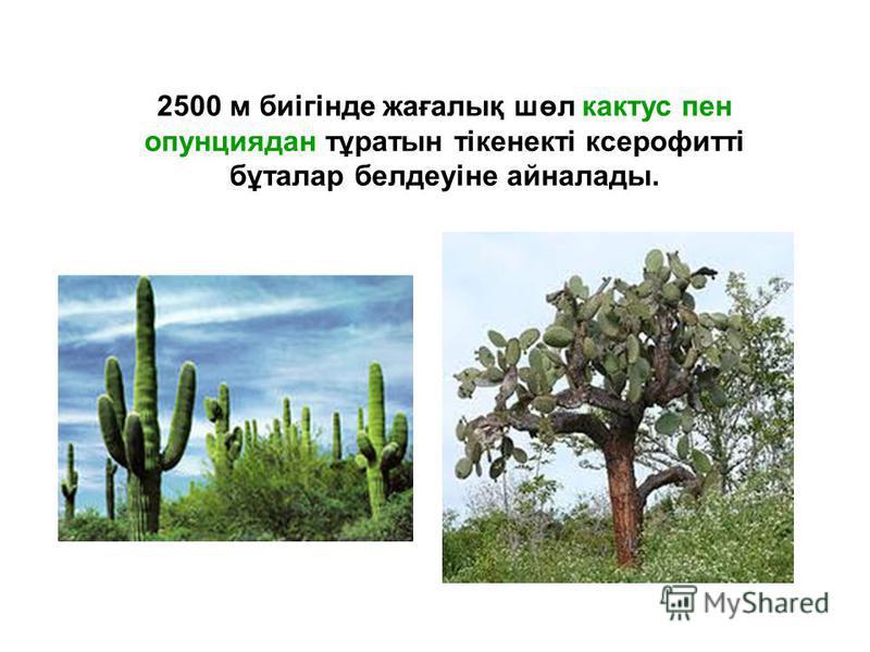2500 м биігінде жағалық шөл кактус пен опунциядан тұратын тікенекті ксерофитті бұталар белдеуіне айналады.