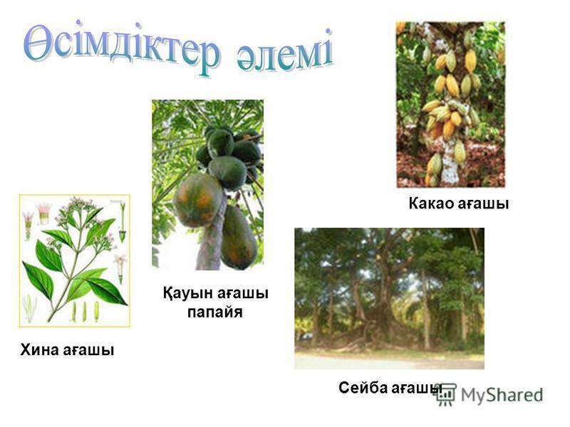 Қауын ағашы папайя Сейба ағашы Какао ағашы Хина ағашы
