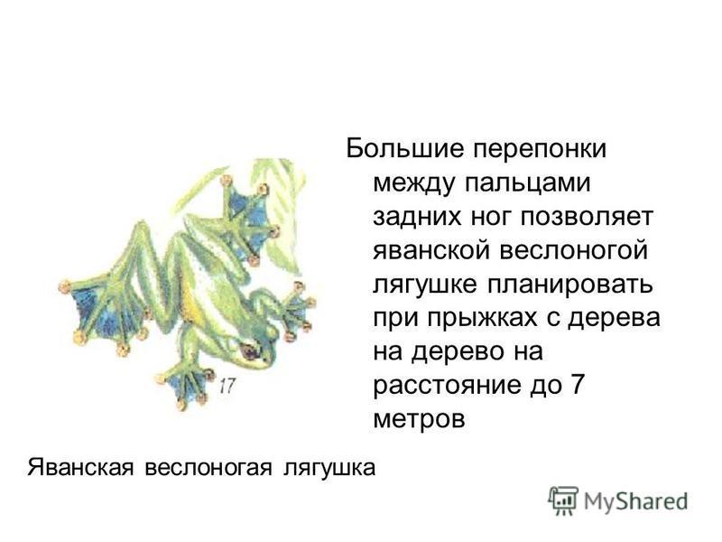 Летающие лягушки Большие перепонки между пальцами задних ног позволяет яванской веслоногой лягушке планировать при прыжках с дерева на дерево на расстояние до 7 метров Яванская веслоногая лягушка