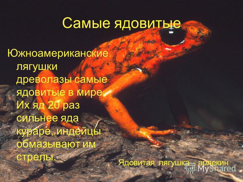 Самые ядовитые Южноамериканские лягушки древолазы самые ядовитые в мире. Их яд 20 раз сильнее яда кураре, индейцы обмазывают им стрелы. Ядовитая лягушка - арлекин
