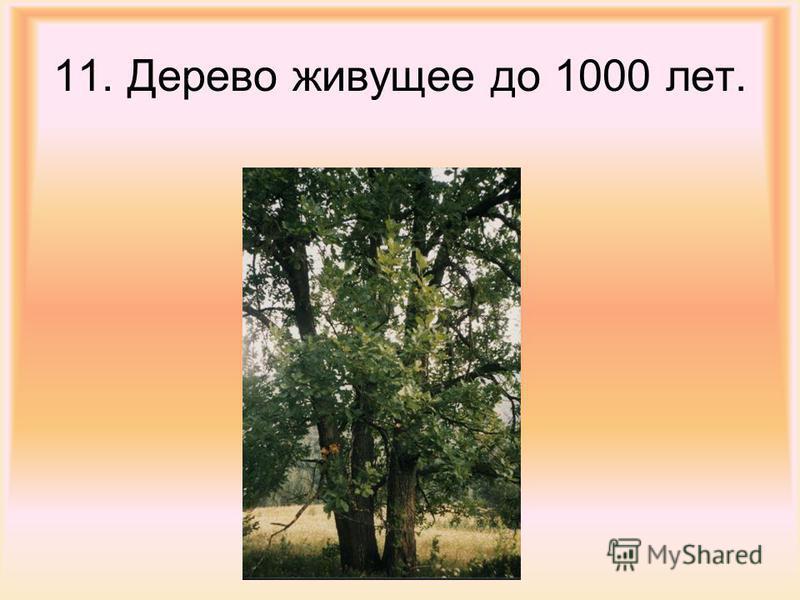 11. Дерево живущее до 1000 лет.