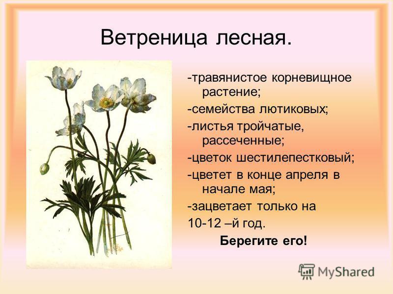 Ветреница лесная. -травянистое корневищное растение; -семейства лютиковых; -листья тройчатые, рассеченные; -цветок шестилепестковый; -цветет в конце апреля в начале мая; -зацветает только на 10-12 –й год. Берегите его!