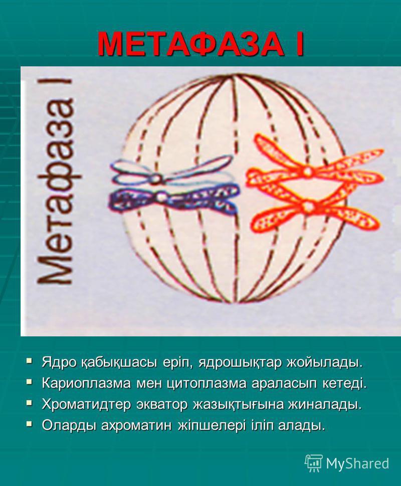 МЕТАФАЗА І Ядро қабықшасы еріп, ядрошықтар жойылады. Ядро қабықшасы еріп, ядрошықтар жойылады. Кариоплазма мен цитоплазма араласып кетеді. Кариоплазма мен цитоплазма араласып кетеді. Хроматидтер экватор жазықтығына жиналады. Хроматидтер экватор жазық