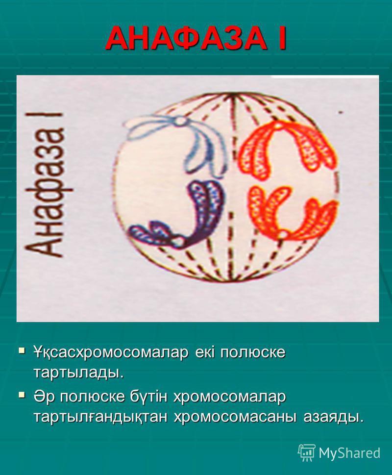 АНАФАЗА І Ұқсасхромосомалар екі полюске тартылады. Ұқсасхромосомалар екі полюске тартылады. Әр полюске бүтін хромосомалар тартылғандықтан хромосомасаны азаяды. Әр полюске бүтін хромосомалар тартылғандықтан хромосомасаны азаяды.