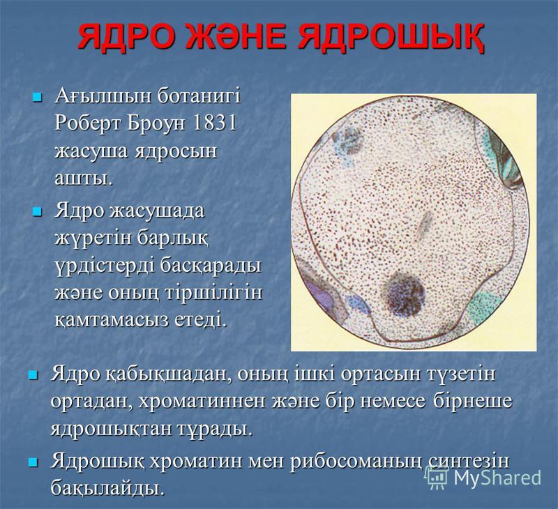 ЯДРО ЖӘНЕ ЯДРОШЫҚ Ядро қабықшадан, оның ішкі ортасын түзетін ортадан, хроматиннен және бір немесе бірнеше ядрошықтан тұрады. Ядро қабықшадан, оның ішкі ортасын түзетін ортадан, хроматиннен және бір немесе бірнеше ядрошықтан тұрады. Ядрошық хроматин м