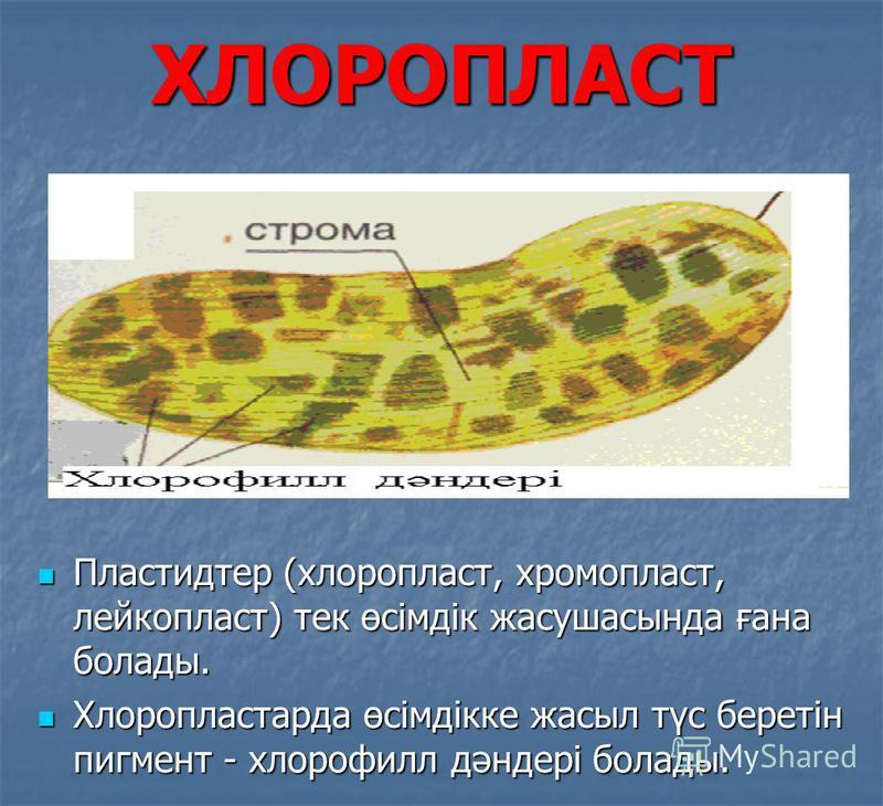 ХЛОРОПЛАСТ Пластидтер (хлоропласт, хромопласт, лейкопласт) тек өсімдік жасушасында ғана болады. Пластидтер (хлоропласт, хромопласт, лейкопласт) тек өсімдік жасушасында ғана болады. Хлоропластарда өсімдікке жасыл түс беретін пигмент - хлорофилл дәндер