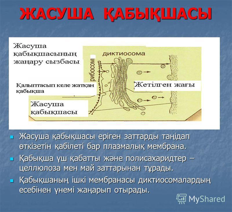 ЖАСУША ҚАБЫҚШАСЫ Жасуша қабықшасы еріген заттарды таңідап өткізетін қабілеті бар плазмалық мембрана. Жасуша қабықшасы еріген заттарды таңідап өткізетін қабілеті бар плазмалық мембрана. Қабықша үш қабатты және полисахаридтер – целлюлоза мен май заттар