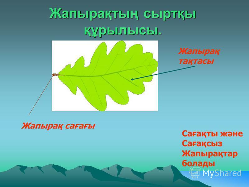 Жапырақтың сыртқы құрылысы. Жапырақ тақтасы Жапырақ сағағы Сағақты және Сағақсыз Жапырақтар болады