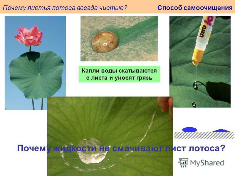 Почему листья лотоса всегда чистые? Способ самоочищения Капли воды скатываются с листа и уносят грязь Почему жидкости не смачивают лист лотоса?