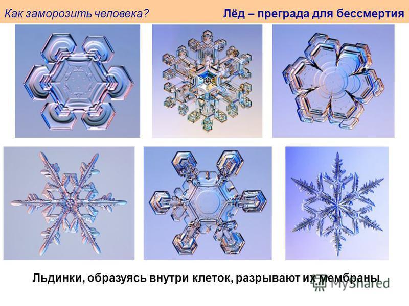 Как заморозить человека? Лёд – преграда для бессмертия Льдинки, образуясь внутри клеток, разрывают их мембраны