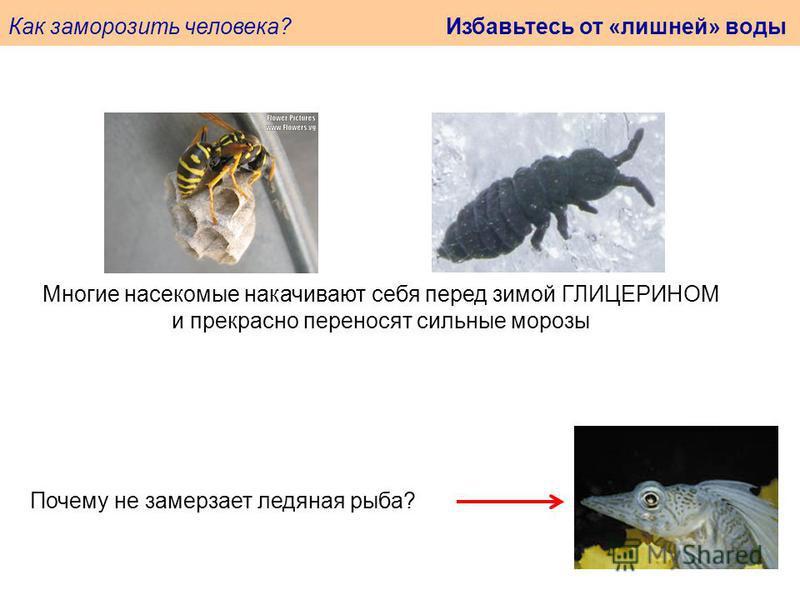 Как заморозить человека? Избавьтесь от «лишней» воды Почему не замерзает ледяная рыба? Многие насекомые накачивают себя перед зимой ГЛИЦЕРИНОМ и прекрасно переносят сильные морозы