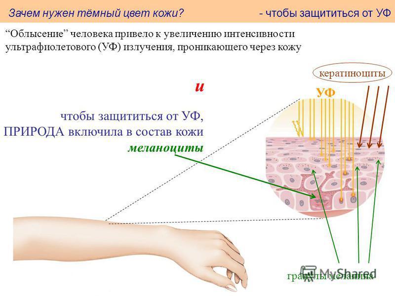 Облысение человека привело к увеличению интенсивности ультрафиолетового (УФ) излучения, проникающего через кожу кератиноциты УФ и чтобы защититься от УФ, ПРИРОДА включила в состав кожи меланоциты гранулы меланина Зачем нужен тёмный цвет кожи? - чтобы