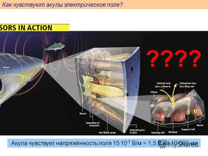 Как чувствуют акулы электрическое поле? Акула чувствует напряжённость поля 15. 10 -7 В/м = 1,5 В на 10 000 км ????