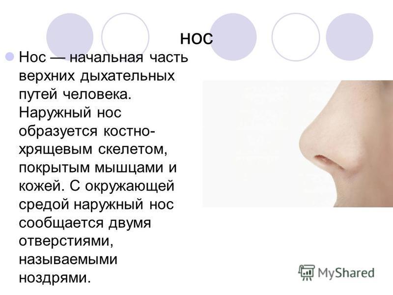нос Нос начальная часть верхних дыхательных путей человека. Наружный нос образуется костно- хрящевым скелетом, покрытым мышцами и кожей. С окружающей средой наружный нос сообщается двумя отверстиями, называемыми ноздрями.
