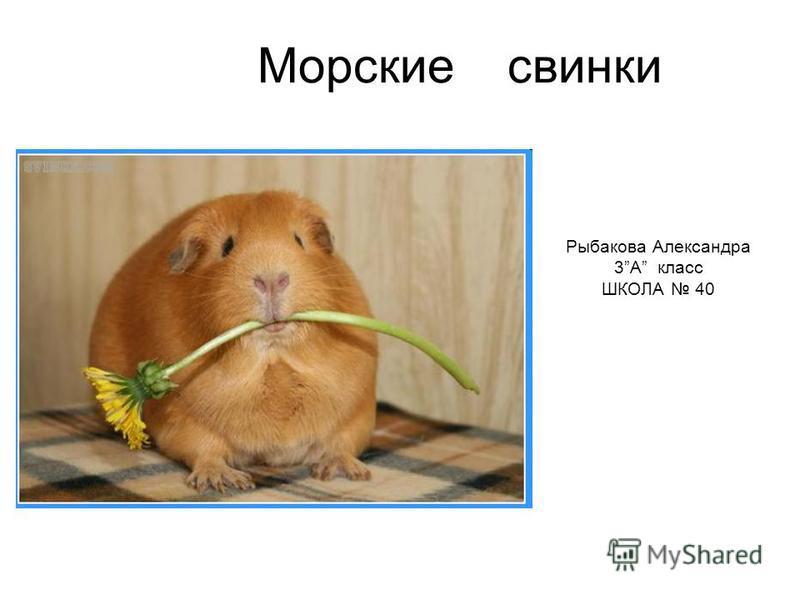 Морские свинки Рыбакова Александра 3А класс ШКОЛА 40