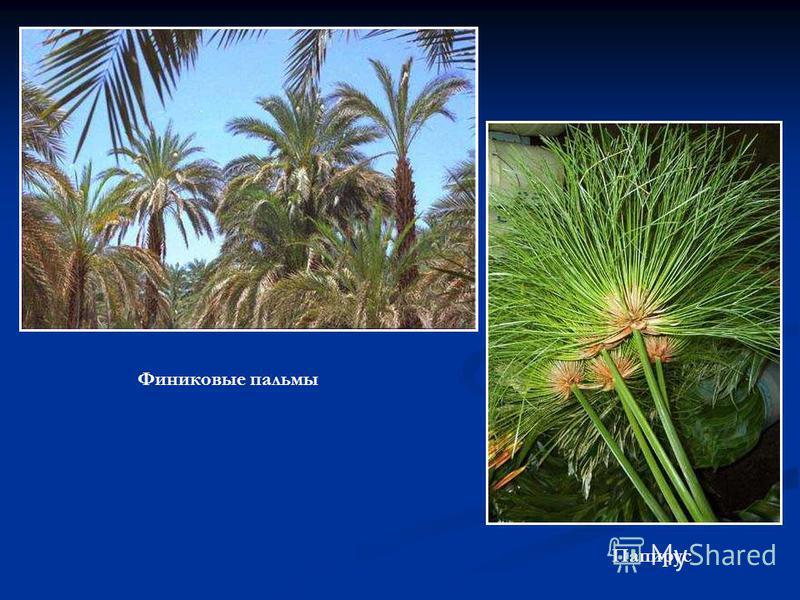 Финиковые пальмы Папирус