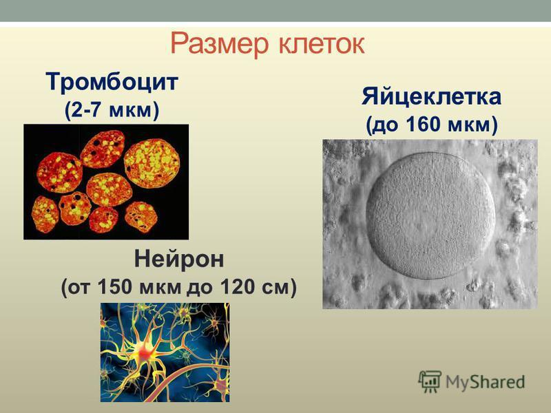 Размер клеток Тромбоцит (2-7 мкм) Яйцеклетка (до 160 мкм) Нейрон (от 150 мкм до 120 см)