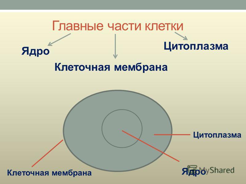 Главные части клетки Ядро Цитоплазма Клеточная мембрана Цитоплазма Ядро