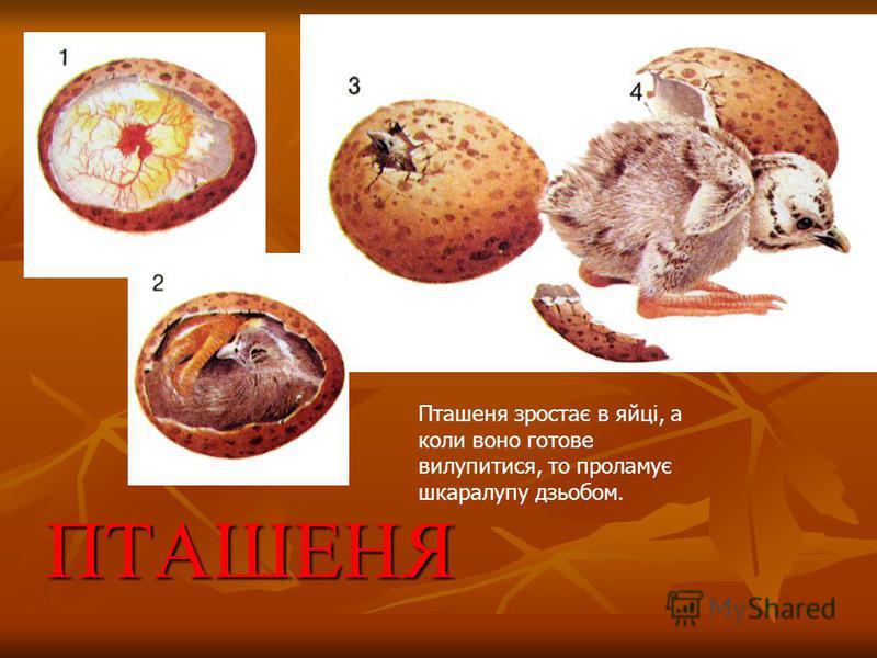 ПТАШЕНЯ Пташеня зростає в яйці, а коли воно готовe вилупитися, то проламує шкаралупу дзьобом.