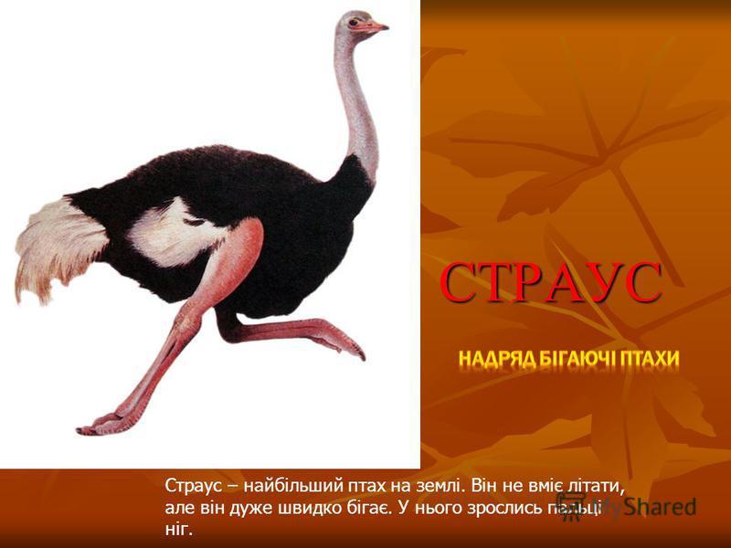 СТРАУС Страус – найбільший птах на землі. Він не вміє літати, але він дуже швидко бігає. У нього зрослись пальці ніг.
