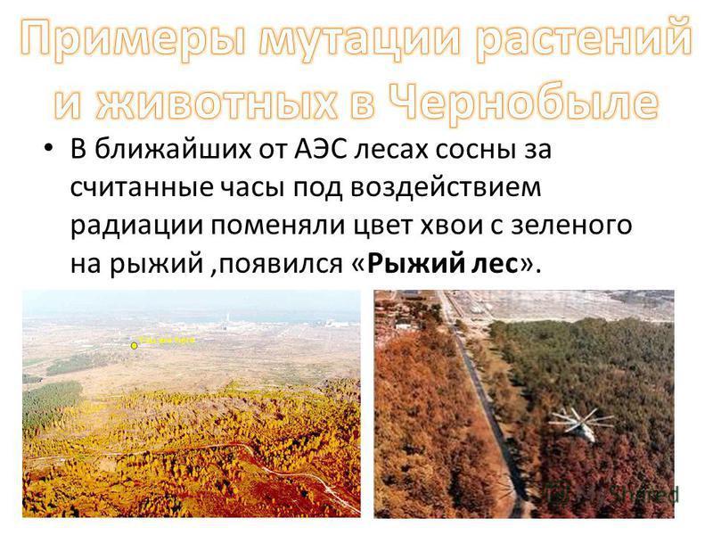 В ближайших от АЭС лесах сосны за считанные часы под воздействием радиации поменяли цвет хвои с зеленого на рыжий,появился «Рыжий лес».