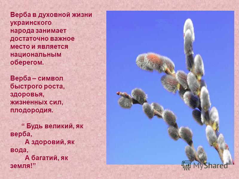 Верба в духовной жизни украинского народа занимает достаточно важное место и является национальным оберегом. Верба – символ быстрого роста, здоровья, жизненных сил, плодородия. Будь великий, як верба, А здоровий, як вода, А багатий, як земля!