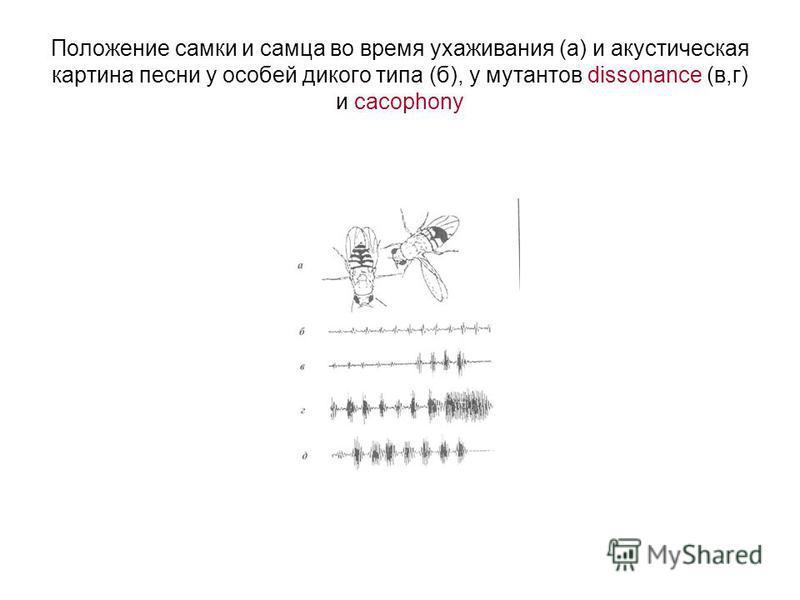 Положение самки и самца во время ухаживания (а) и акустическая картина песни у особей дикого типа (б), у мутантов dissonance (в,г) и cacophony