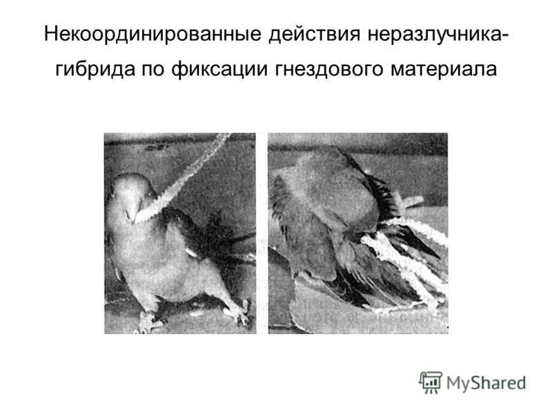 Некоординированные действия неразлучника- гибрида по фиксации гнездового материала