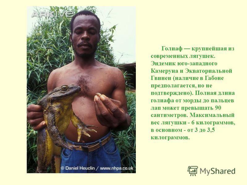 Голиаф крупнейшая из современных лягушек. Эндемик юго-западного Камеруна и Экваториальной Гвинеи (наличие в Габоне предполагается, но не подтверждено). Полная длина голиафа от морды до пальцев лап может превышать 90 сантиметров. Максимальный вес лягу