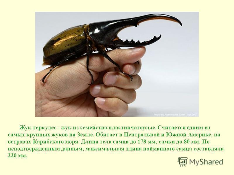 Жук-геркулес - жук из семейства пластинчатоусые. Считается одним из самых крупных жуков на Земле. Обитает в Центральной и Южной Америке, на островах Карибского моря. Длина тела самца до 178 мм, самки до 80 мм. По неподтвержденным данным, максимальная