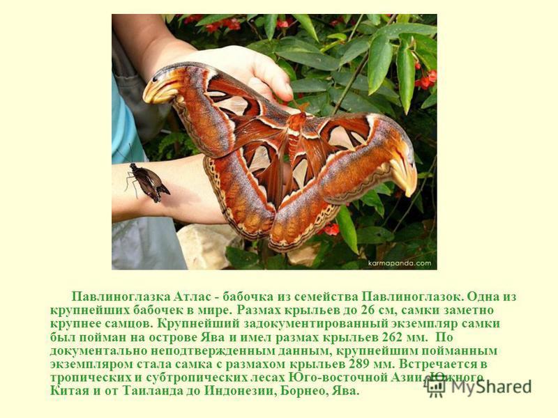 Павлиноглазка Атлас - бабочка из семейства Павлиноглазок. Одна из крупнейших бабочек в мире. Размах крыльев до 26 см, самки заметно крупнее самцов. Крупнейший задокументированный экземпляр самки был пойман на острове Ява и имел размах крыльев 262 мм.