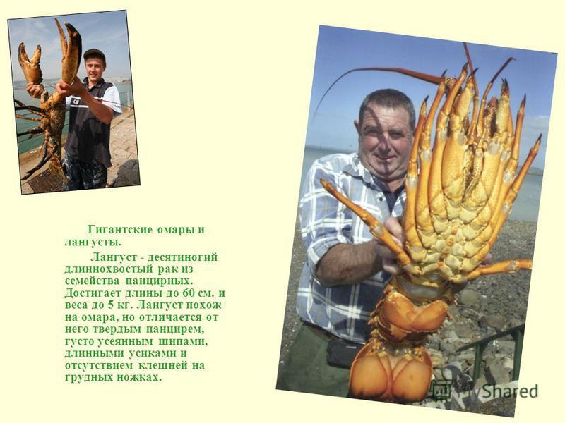 Гигантские омары и лангусты. Лангуст - десятиногий длиннохвостый рак из семейства панцирных. Достигает длины до 60 см. и веса до 5 кг. Лангуст похож на омара, но отличается от него твердым панцирем, густо усеянным шипами, длинными усиками и отсутстви