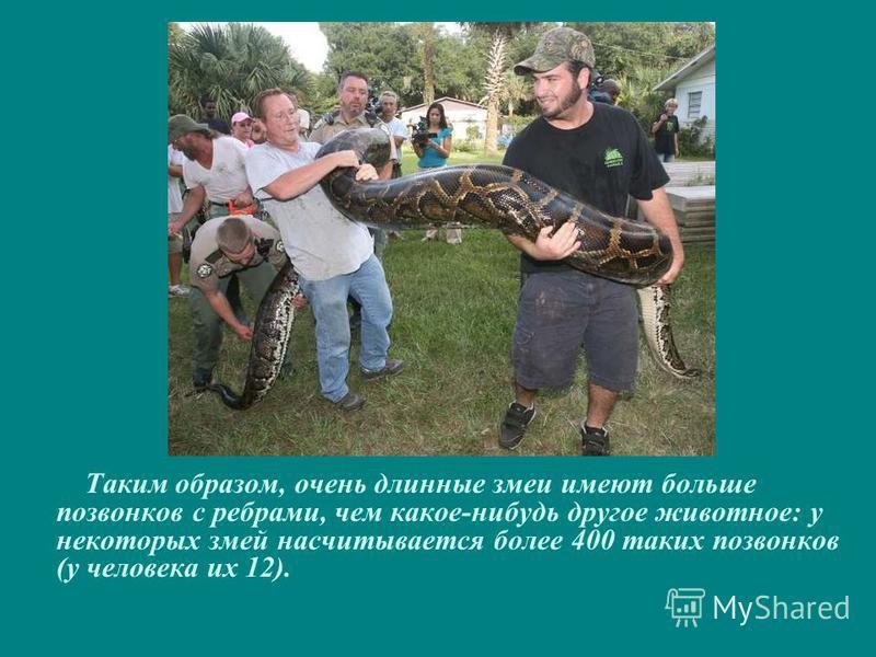 Таким образом, очень длинные змеи имеют больше позвонков с ребрами, чем какое-нибудь другое животное: у некоторых змей насчитывается более 400 таких позвонков (у человека их 12).