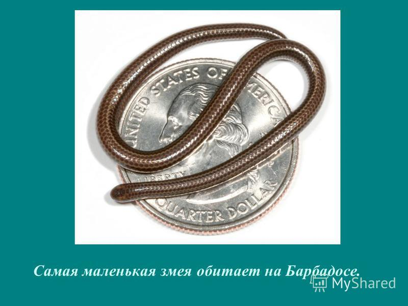 Самая маленькая змея обитает на Барбадосе.