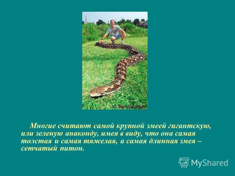 Многие считают самой крупной змеей гигантскую, или зеленую анаконду, имея в виду, что она самая толстая и самая тяжелая, а самая длинная змея – сетчатый питон.