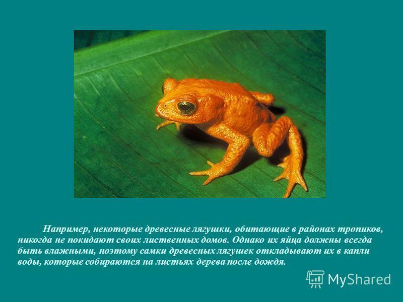 Например, некоторые древесные лягушки, обитающие в районах тропиков, никогда не покидают своих лиственных домов. Однако их яйца должны всегда быть влажными, поэтому самки древесных лягушек откладывают их в капли воды, которые собираются на листьях де