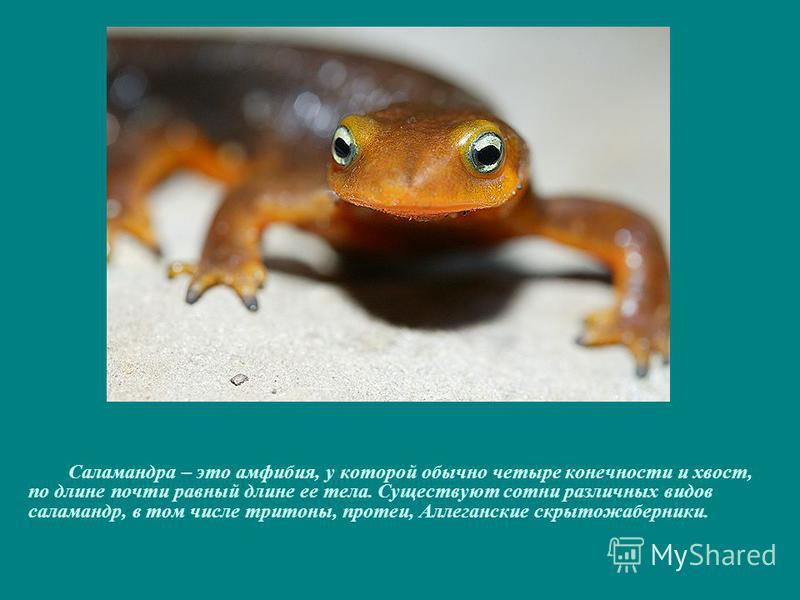 Саламандра – это амфибия, у которой обычно четыре конечности и хвост, по длине почти равный длине ее тела. Существуют сотни различных видов саламандр, в том числе тритоны, протеи, Аллеганские скрытожаберники.