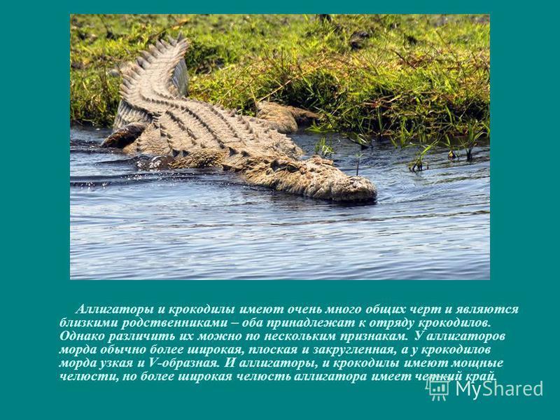 Аллигаторы и крокодилы имеют очень много общих черт и являются близкими родственниками – оба принадлежат к отряду крокодилов. Однако различить их можно по нескольким признакам. У аллигаторов морда обычно более широкая, плоская и закругленная, а у кро