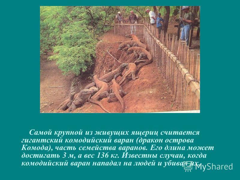 Самой крупной из живущих ящериц считается гигантский комодский варан (дракон острова Комода), часть семейства варанов. Его длина может достигать 3 м, а вес 136 кг. Известны случаи, когда комодский варан нападал на людей и убивал их.